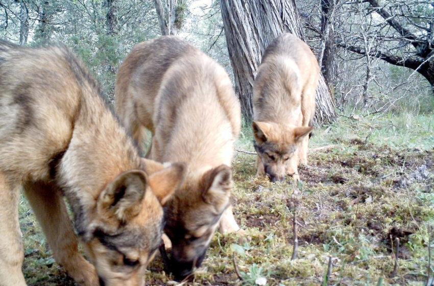 Castilla y León y otras diez CCAA piden al Gobierno que retire la inclusión del lobo en el listado de especies protegidas