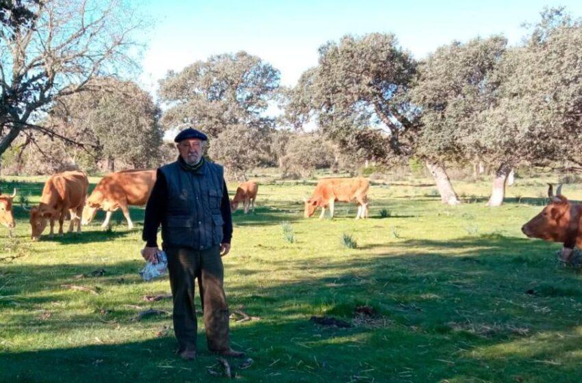 Las últimas vacas salvajes de Europa están en Salamanca