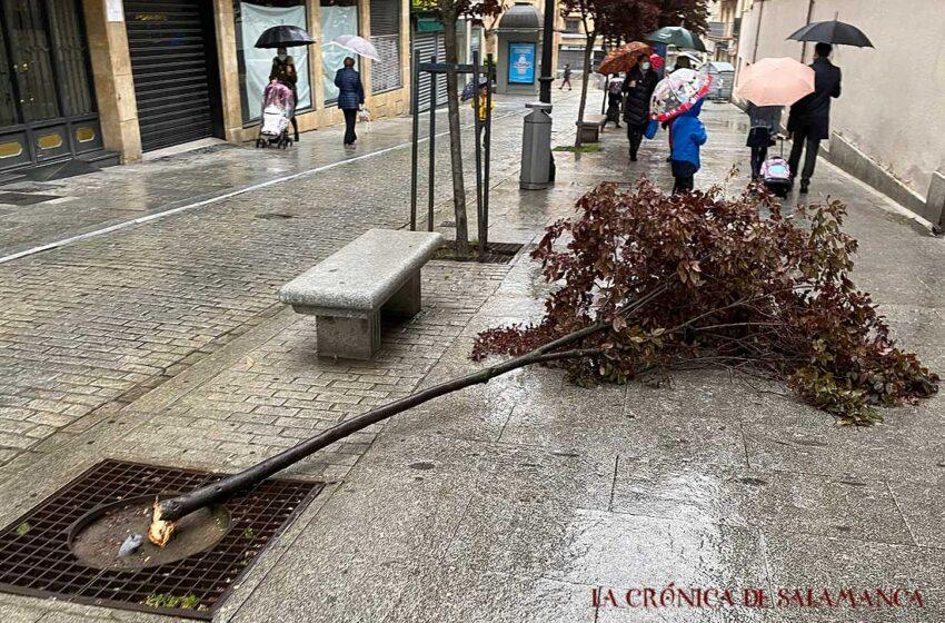 Un árbol amanece arrancado y en el suelo al lado del colegio Francisco de Vitoria