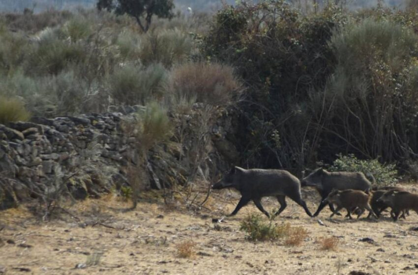 ASAJA pide a la Junta permiso para cazar jabalíes todo el año