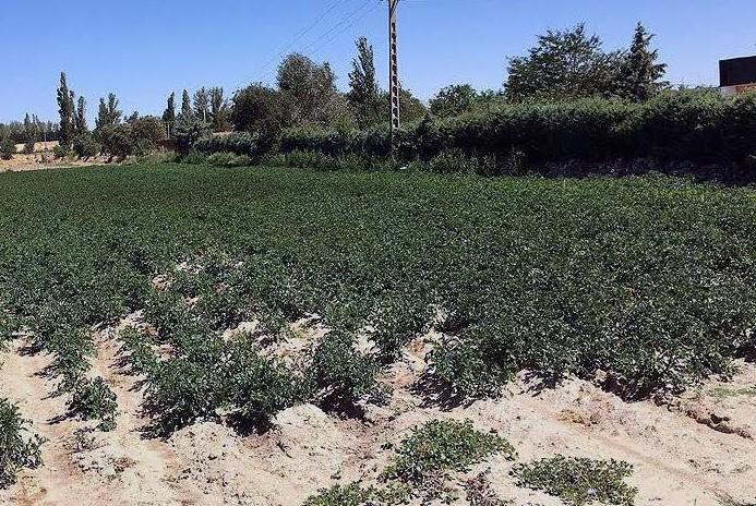 Castilla y León es la región con mayor superficie dedicada a este cultivo, más de 19.000 hectáreas
