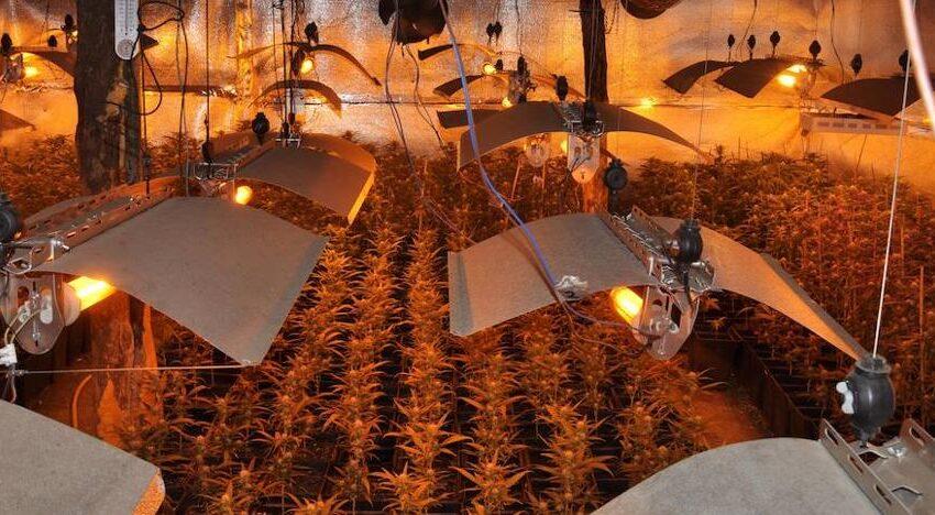 Desmantelan una plantación de marihuana en Béjar con 525 plantas y detienen a cuatro personas