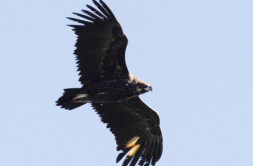 Aumentan los ejemplares de buitre negro en la región con 86 parejas en Salamanca