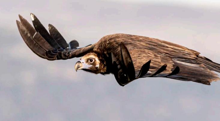 Localizadas 14 parejas de buitres negros en la zona de El Rebollar