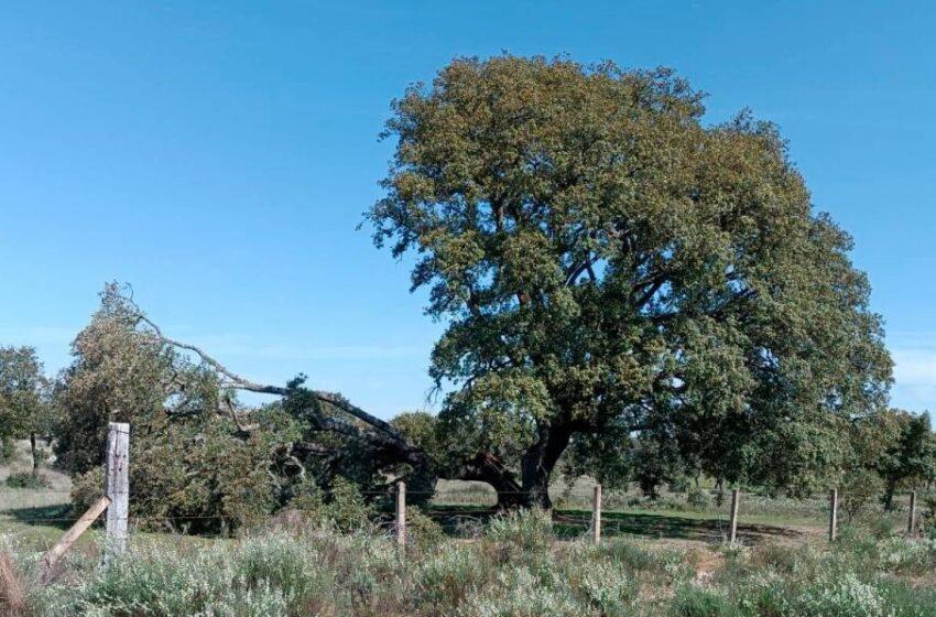 Adiós al árbol centenario de Espeja: la gran encina no aguanta los fuertes vientos
