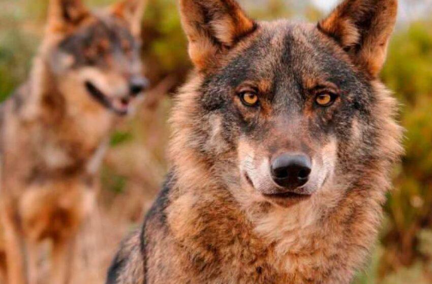 Castilla y León y otras 10 comunidades piden retirar al lobo de la lista de especies protegidas